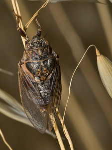 Cicada from Monte Bello OSP, on wild oats