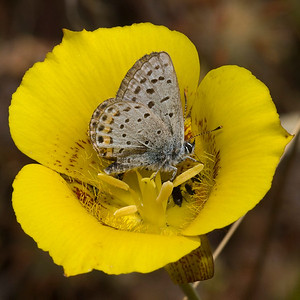 Blue on yellow (mariposa lily) at Monte Bello OSP