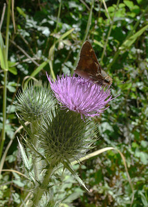Skipper on a thistle