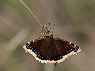 Mourning cloak butterfly on Harding grass
