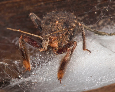 Reduviid found on probably spider egg case under a log at Los Trancos OSP.