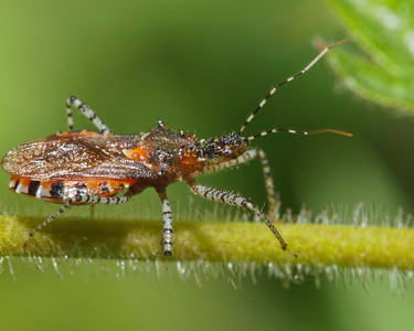 Assassin bug.  Pretty spectacular leg and antenna banding!  Probably Apiomerus cf. crassipes.