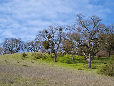 Landscape at Arastradero Preserve, with oaks and mistletoe.