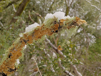 Dead branch with lichen, fungus, and snow.   Los Trancos OSP, 8 Dec 09.