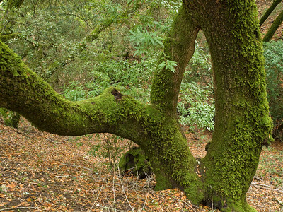 Mossy bay tree, two days after the first big rain of the fall, Monte Bello Open Space Preserve.
