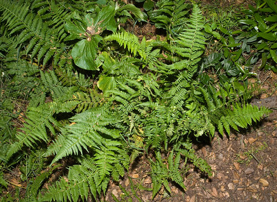 D. arguta plant with diseased frond