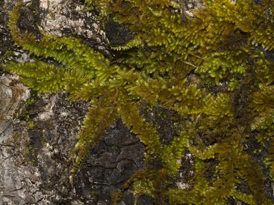 Blonde hugger moss