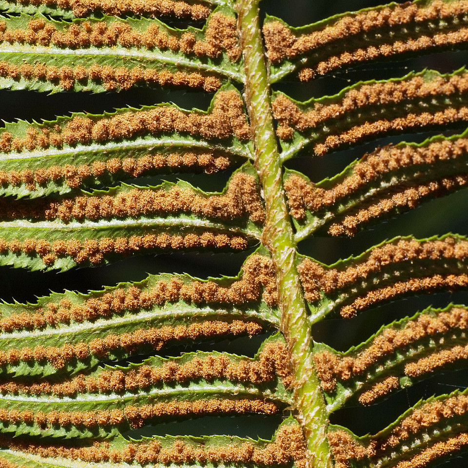 Sporangia of Sword Fern.  Windy Hill OSP.