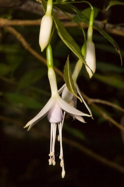Fuchsia near Purisima Creek (blossom).