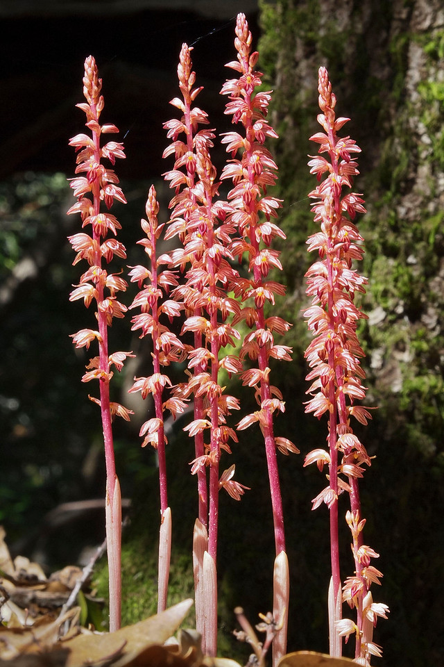 Striped coral root orchid, White Oak Trail, Monte Bello OSP.