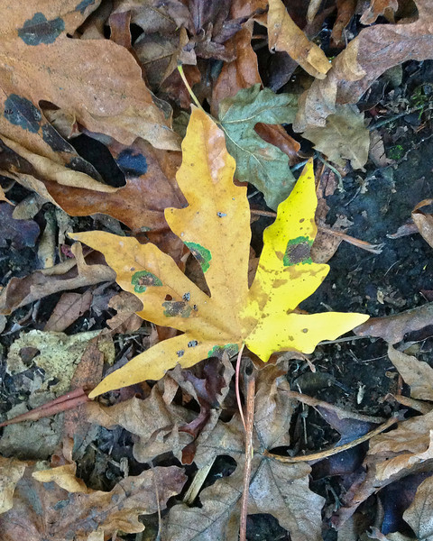 Maple leaf at Windy Hill, 27 Oct. 2012.  Taken with an iPod.