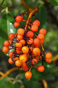 Madrone fruit, Monte Bello OSP.