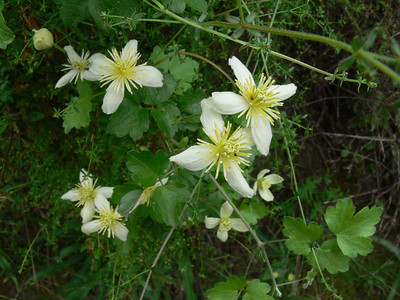 Clematis lasiantha (virgin's bower)