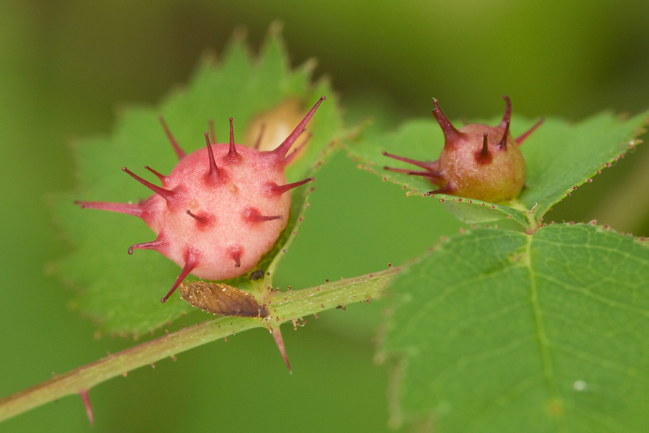 Probably spiny rose gall (Diplolepis)