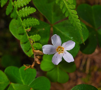 Redwood sorrel, Purisima Creek Redwoods OSP.
