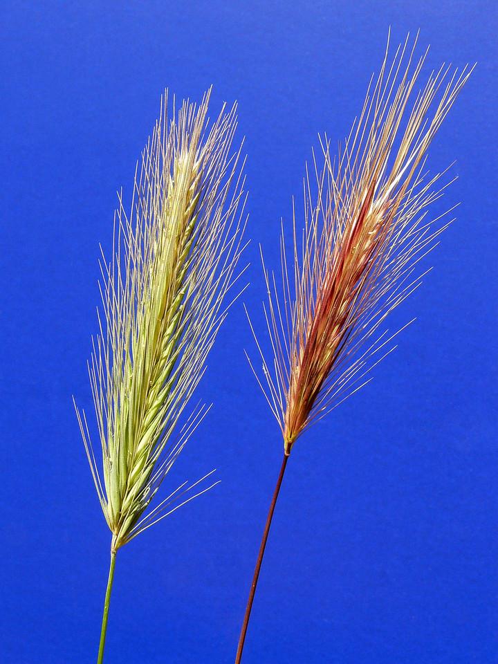 Bromus madritensis (foxtail grass)?