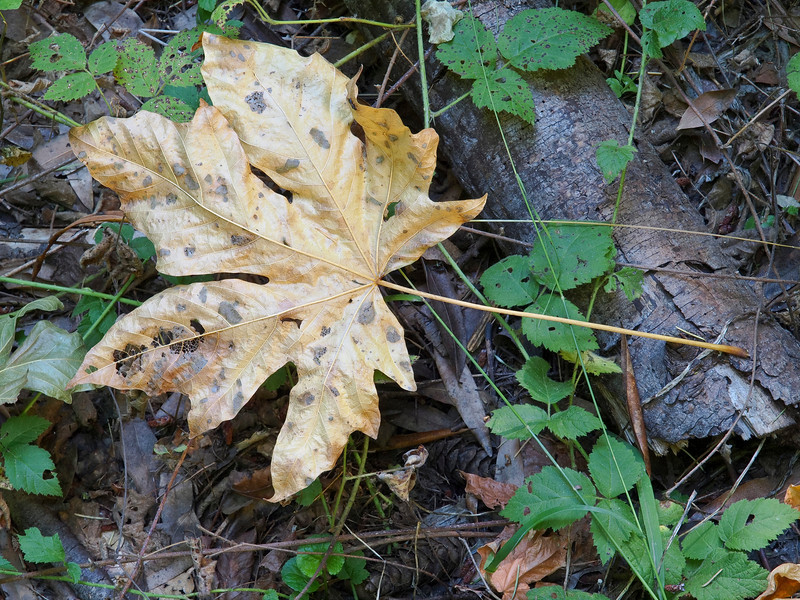 Maple leaf beside the trail, Long Ridge OSP.
