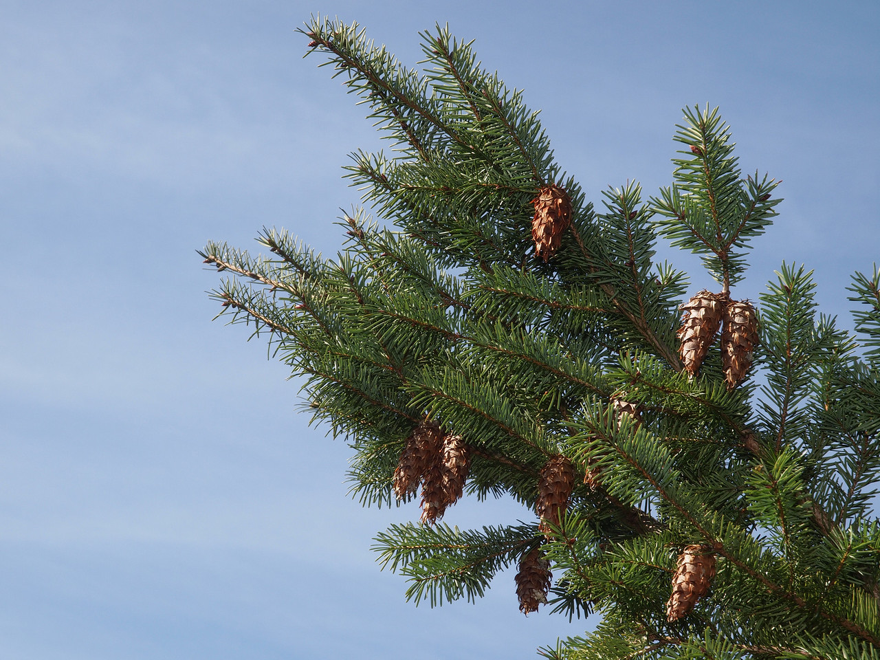 Douglas fir, Skyline Ridge OSP.