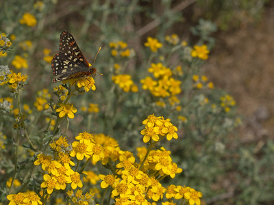 Common Checkerspot on Golden Yarrow