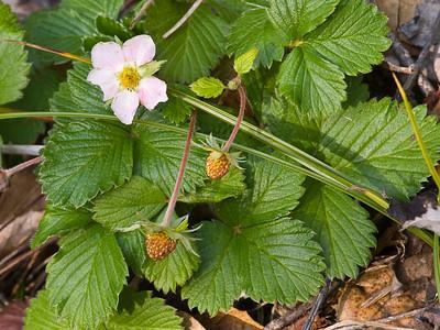 Wild strawberries in January(!)