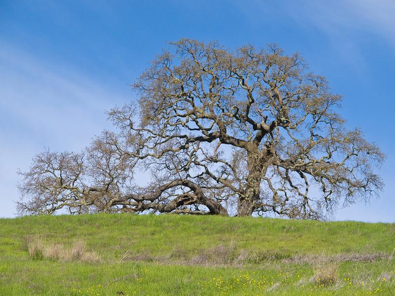 Valley oak (Quercus lobata) in Pearson-Arastradero Preserve