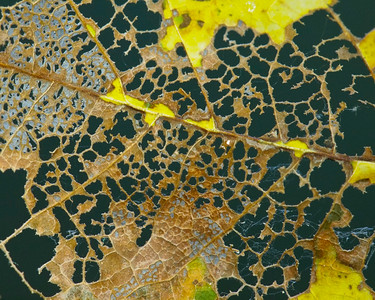 Perforated maple leaf, Long Ridge OSP.