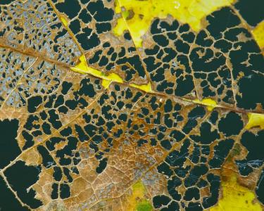 Perforated maple leaf, Long Ridge OSP.