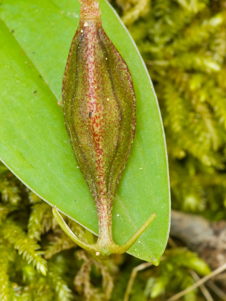 Fetid adder's tongue seed capsuls.  Polly Geraci Trail, Pulgas Ridge OSP.