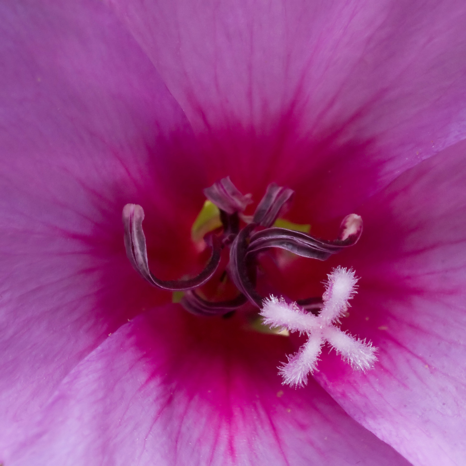 Stamens and pistil of a Clarkia rubicunda, Nature Trail at Monte Bello OSP.