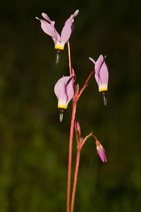 Shooting stars, Dick Bishop Trail, Pulgas Ridge OSP