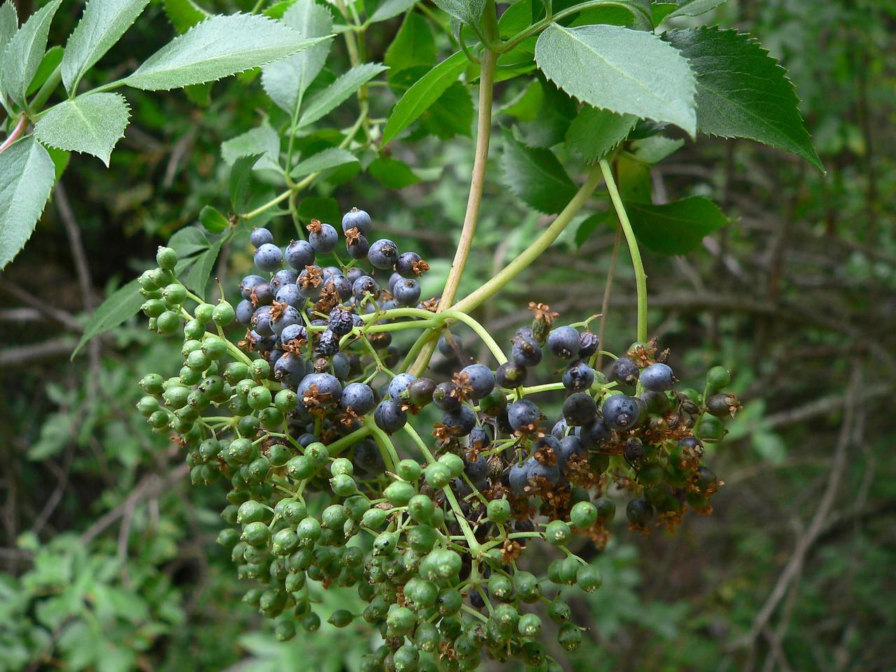 Blue elderberries, Arastradero OSP.