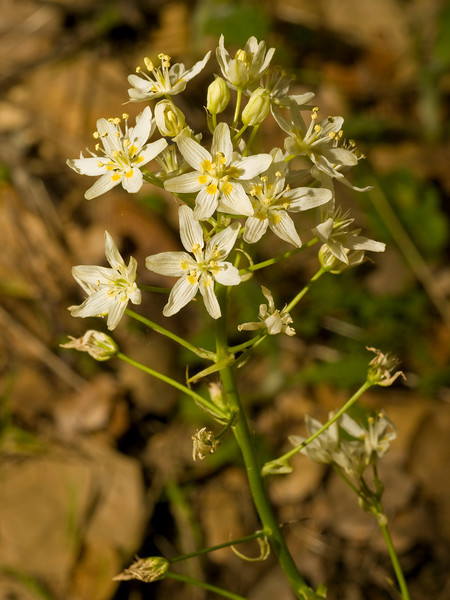 Star lily, Zigadenus fremontii , Dick Bishop Trail, Pulgas Ridge OSP.