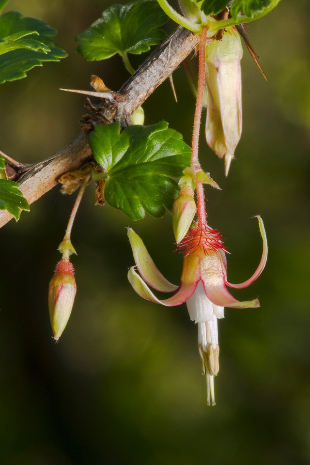 Gooseberry (Ribes sp.) blossoms on Page Mill Trail, Los Trancos OSP