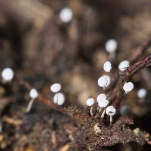Tiny (~1 mm) slime molds.     Monte Bello OSP.