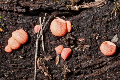 Lycogala slime mold.    Windy Hill OSP.