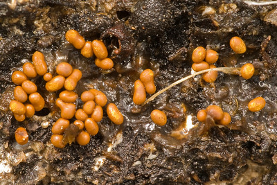 Fruiting bodies of slime mold on underside of downed log.  Diameter of individual bodies ~1 mm.  Monte Bello OSP.