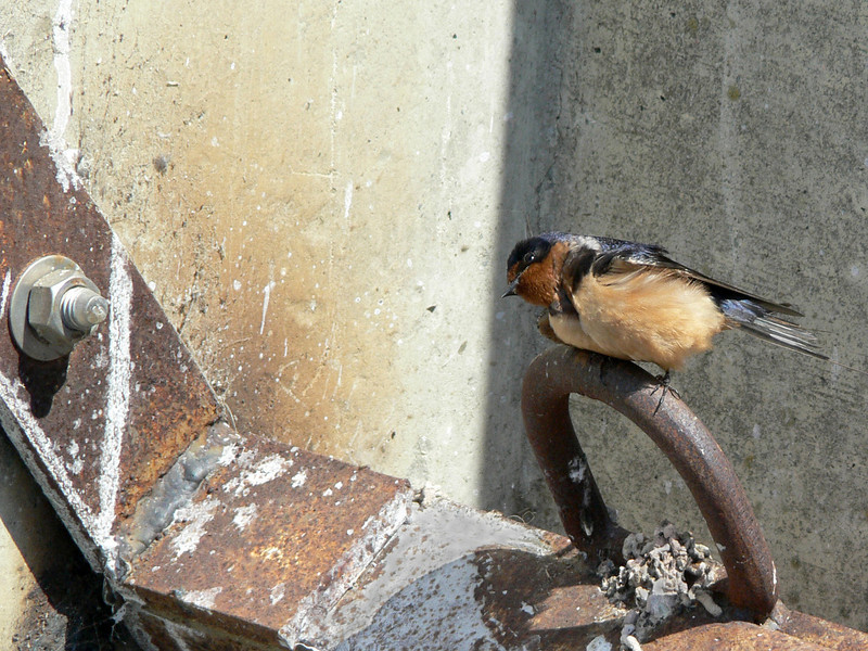 Swallow (cliff swallow?) on baylands dam