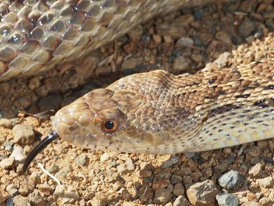 Gopher snake  (Los Trancos OSP)