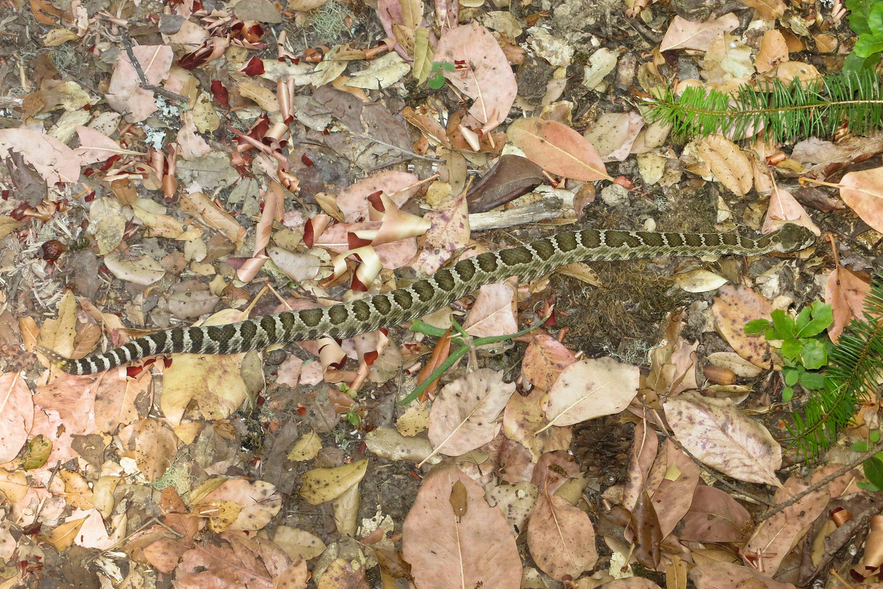 """Young rattler on nature trail at Monte Bello OSP, 28Aug2012.   Around 20"""" long.  Very placid little fellow let me get lots of photos."""