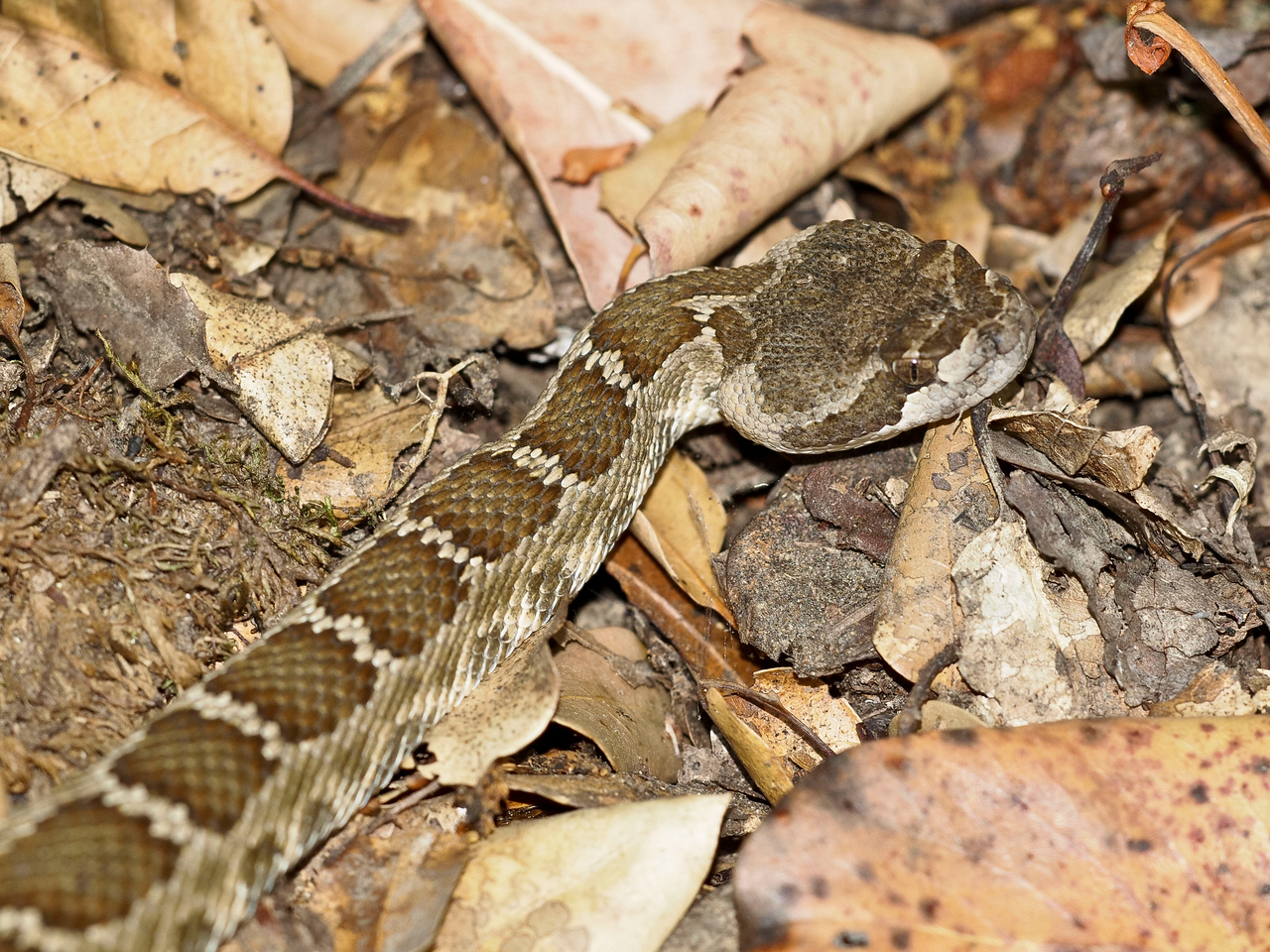 Close-up of little rattler. Times like this make me glad for telephoto lenses! Monte Bello OSP.