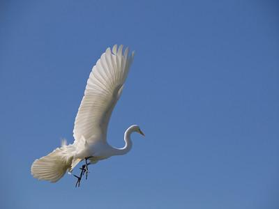 Great egret in flight, taken at the Palo Alto baylands.