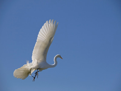 Great egret in flight, taken at the Palo Alto baylands.