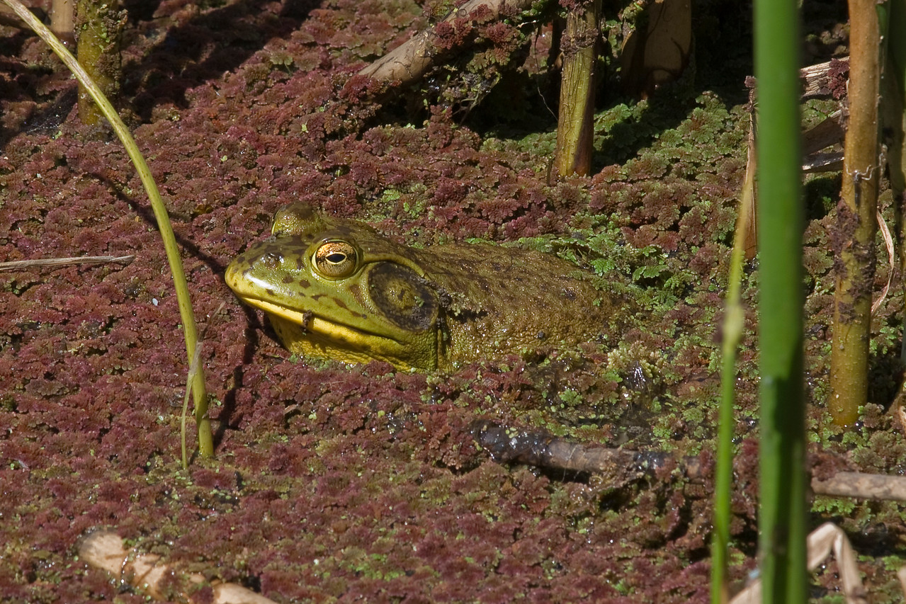 Bullfrog resting in Azola, Sausal Pond at Windy Hill OSP