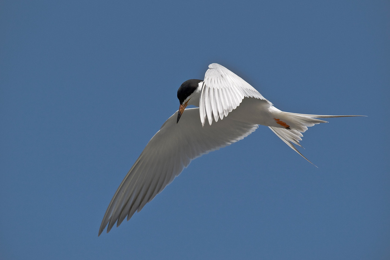 Hovering tern (Sterna sp.), probably Forster's