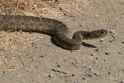Western rattlesnake, Northern Pacific subspecies (Crotalus viridis oreganus)