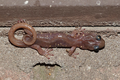 Arboreal salamander on a building at Rancho San Antonio OSP