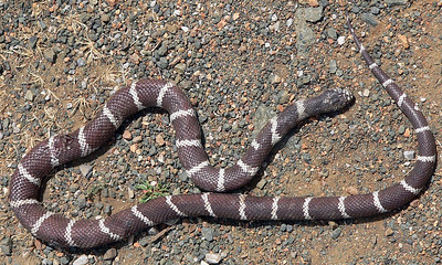 Common kingsnake (California subspecies) run over by a mountain bike, Arastradero Preserve.