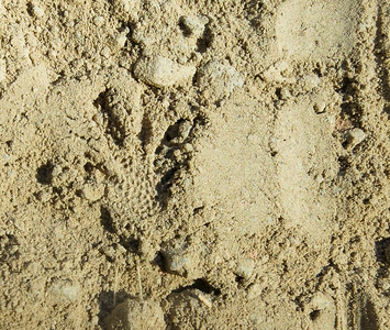 One of the footprints (a left foot).  Note the scale imprints.   Very nice!