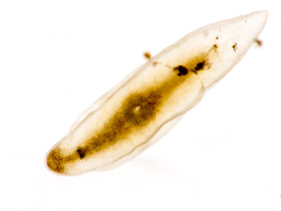 Flatworm, showing mouth amidships.  Maybe Mesostoma sp.?