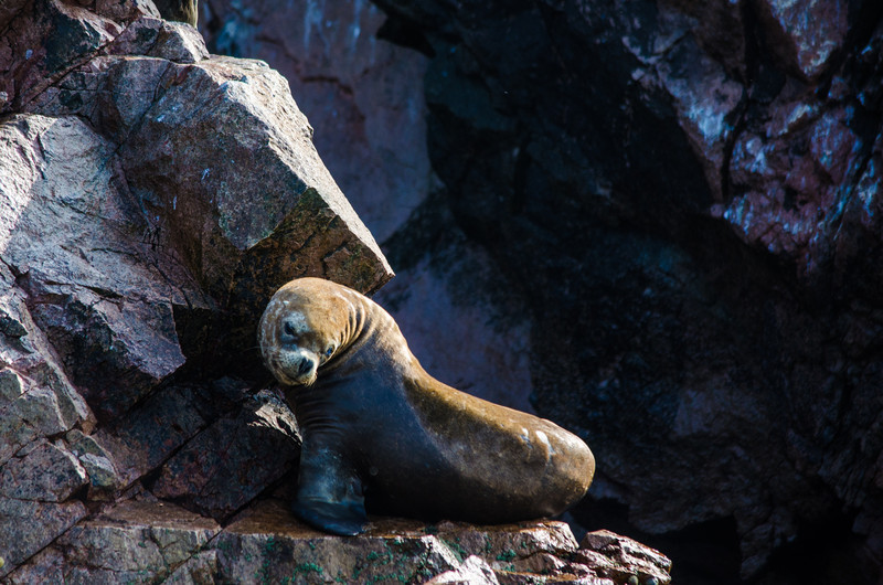 South American Sea Lion